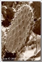 20100613_Les CACTUS__MG_4567+cactus feuille.jpg